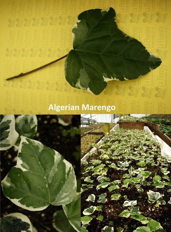 Algerian Marengo