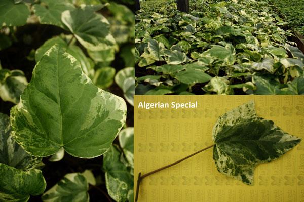 Algerian Special Ivy
