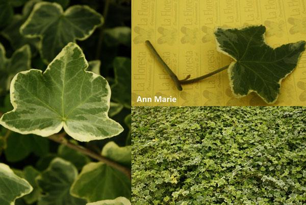 Ann Marie Ivy