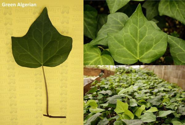 Green Algerian Ivy