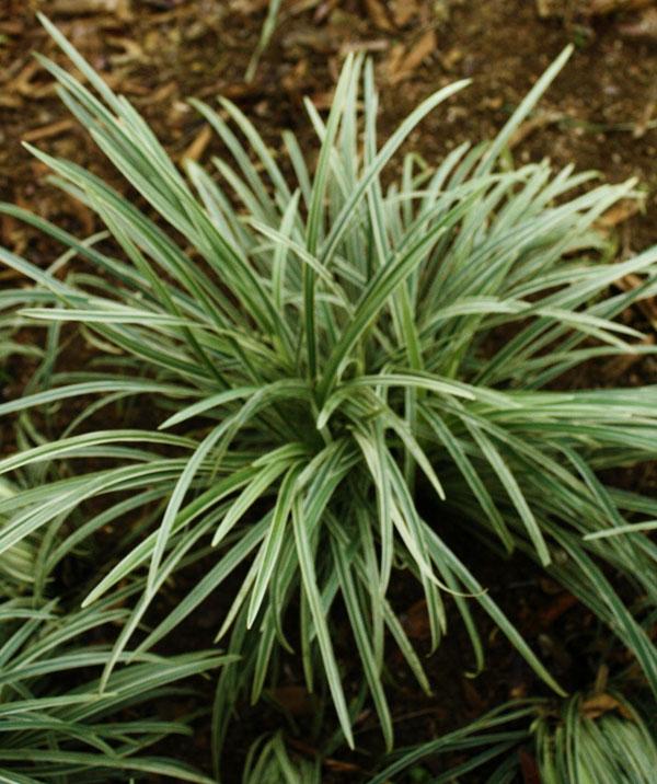 Liriope Aztec Grass