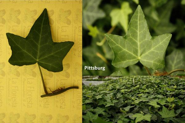 Pittsburg Ivy