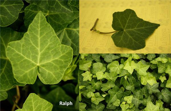 Ralph Ivy